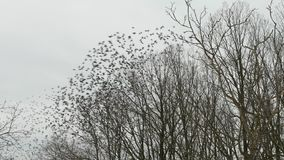Many birds flying in winter forest. Woods and trees silhouette with gray sky. stock video