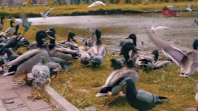 Many birds on the shore of the city pond at the same time fly frightened people beautiful shots from close range. Graceful birds. Wonderful nature. Rare stock video