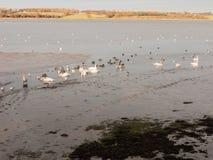 Many birds, swans, geese, ducks resting on salt marsh Mistley co Royalty Free Stock Images