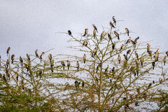 Many birds on the tree in Kenya Stock Images