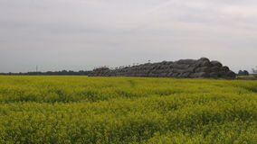 Many birds white storks on straw bales and rapeseed field stock video