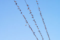 Many birds on wires. Hundreds of birds on power wires Stock Image