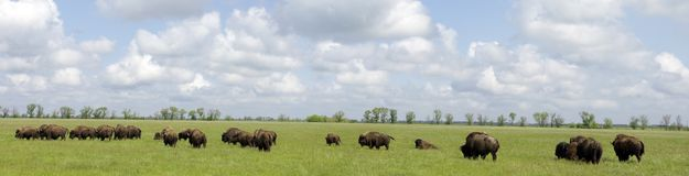 Many bison Stock Photos