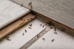 Free Many Black Ants On Floor. Pest Control Royalty Free Stock Photos - 180021118