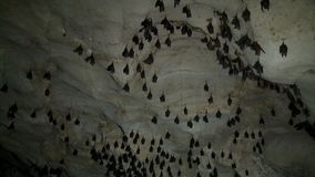 Many black bats hanging and flapping in a cave