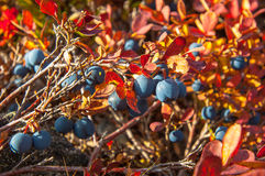 Many black blueberries on a bush with red leaves. Many black blueberries on a bush with red leaves sunlit Royalty Free Stock Photos
