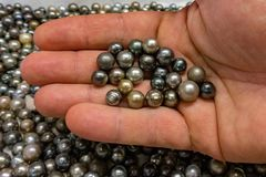 Black pearls in polynesia cook islands. Many black pearls in polynesia cook islands royalty free stock image
