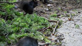 Many black squirrels feeding under green pine tree stock footage