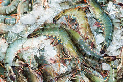 Many Black tiger prawn freeze with ice Stock Photography