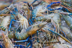 Many Black tiger prawn freeze with ice. Royalty Free Stock Photo