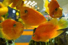 Many blood parrot cichlid fishes swim in the aquarium royalty free stock photography