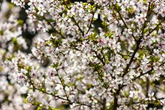 Branches of sakura. Many blooming branches of sakura at blurred green and white background Stock Photography