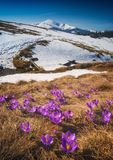 Many blooming crocuses on a meadow Royalty Free Stock Image