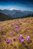 Many blooming crocuses in a mountain valley stock photography