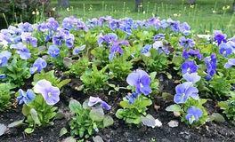 Many blooming flowers the blue Pansies Royalty Free Stock Photo