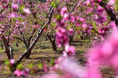 Many blooming peach blossoms royalty free stock photos