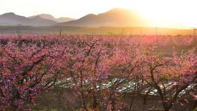 Many blooming peach blossoms at sunrise royalty free stock image