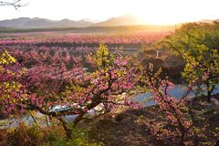 Many blooming peach blossoms at sunrise stock image