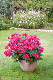 Many blooming pink pelargonia flowers Royalty Free Stock Image