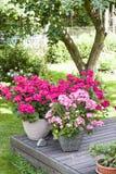 Many blooming pink pelargonia flowers Royalty Free Stock Image