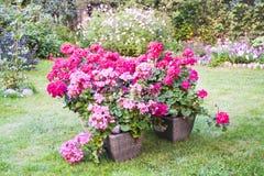 Many blooming pink pelargonia flowers Stock Photos