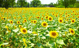 Many blooming sunflower Royalty Free Stock Images