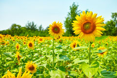 Many blooming sunflower Royalty Free Stock Image