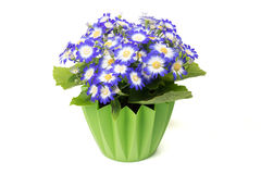 Many blue cineraria flowers in a green flower pot. Stock Images