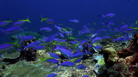 Many blue fish on the reef looking for food. Amazing, beautiful underwater world Bali Indonesia and  life of its inhabitants, creatures and diving, travels stock footage