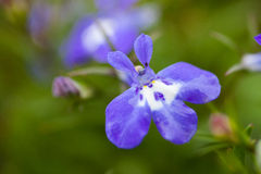 Many blue flowers as a background lobelia Royalty Free Stock Photo