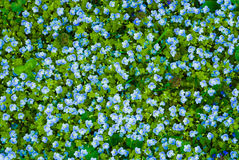 Many blue flowers Royalty Free Stock Image