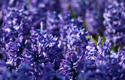 Many blue hyacinths growing under the sunlight in the park Royalty Free Stock Photos