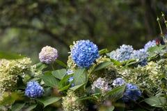 Many blue hydrangea flowers Stock Photo