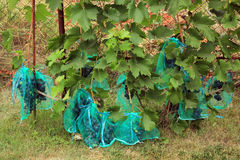 Many blue grape bunches in protective bags to protect from damag Royalty Free Stock Images
