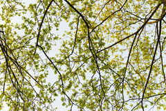 Many branch of trees on sky backgrounds. Backlight photo Royalty Free Stock Photo