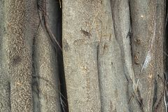 The root of a branching banyan tree with a rough texture. Many branched tree roots with a rough texture. this is a characteristic banyan tree stock image