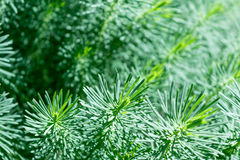 Many branches of coniferous ornamental plants with green needles. Royalty Free Stock Images