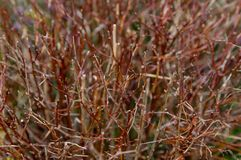 Many branches of bushes close-up without leaves, blurred background royalty free stock photography