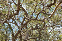 Many branches of stringybark, Eucalyptus growing in the forest i Royalty Free Stock Images