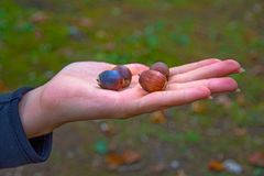 Many bright acorns lie on hand, acorns on your hands. Bright forest green royalty free stock photos