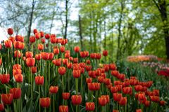 Many bright orange tulips in the Park on a Sunny day. Field, flower bed with pink tulips in the garden. Beautiful tulips flower in field at winter or spring day royalty free stock image