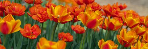Many bright orange tulips in the Park on a Sunny day stock images