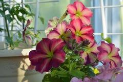 Many bright petunia flowers in small vivid garden on the balcony.  royalty free stock photos