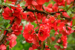 Many bright red flowers on a Bush with green leaves Stock Image
