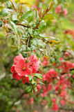 Many bright red flowers on a Bush with green leaves Stock Images