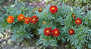 Many bright red and orange marigold flowers Stock Image
