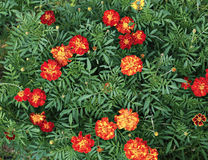 Many bright red and orange marigold flowers Royalty Free Stock Image