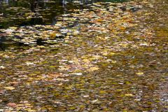 Many bright yellow autumn leaves float on a water surface Stock Photo