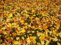 Many bright yellow leaves on the ground. stock image