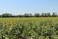 Bright sunflowers against the blue sky. Many bright yellow sunflowers with green leaves in a field against a blue sky background royalty free stock images